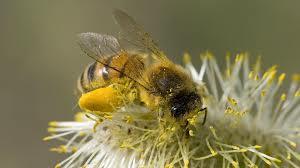 Honeybee Image 2