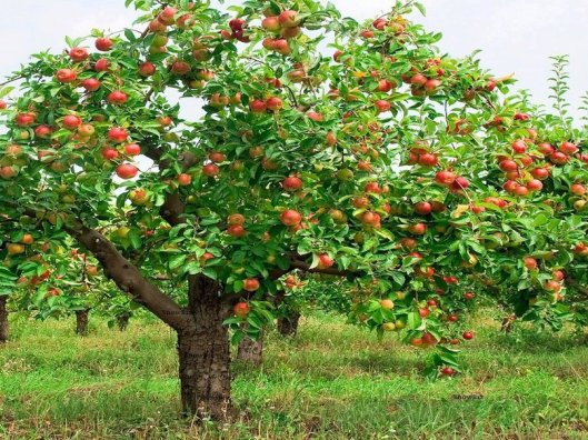 apple tree image.jpg